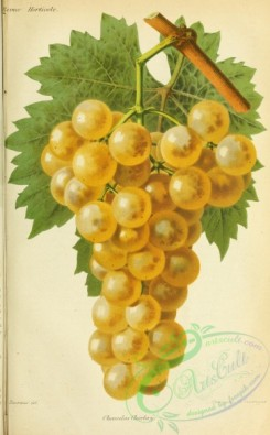 grapes-00522 - Grape, 2