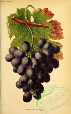 grapes-00525 - Grape