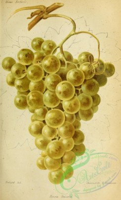grapes-00527 - Grape