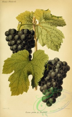 grapes-00530 - Grape