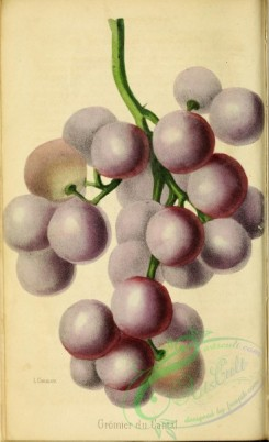 grapes-00532 - Grape