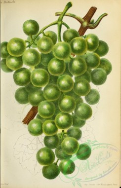 grapes-00537 - Grape