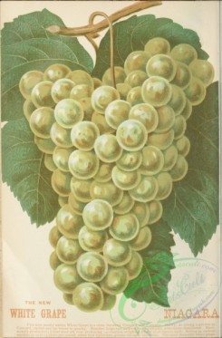 grapes-00543 - Niagara White Grape