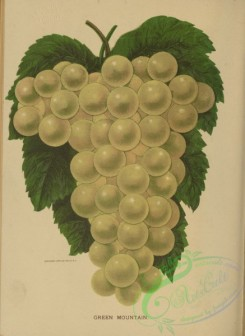 grapes-00547 - Green Mountain Grapes