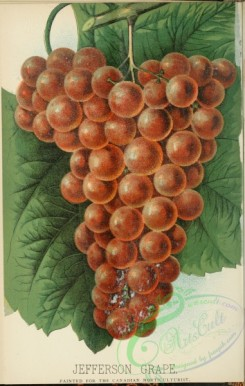 grapes-00557 - Jefferson Grape