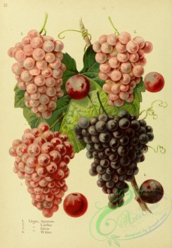 grapes-00560 - Agawam Grape, Lindley Grape, Salem Grape, Wilder Grape