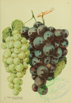 grapes-00562 - Green Mountain Grape, Campbell's Early Grape