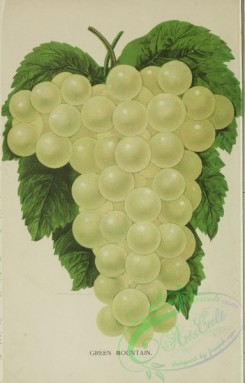 grapes-00565 - Green Mountain Grapes