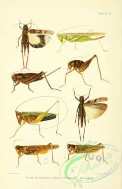 grasshoppers-00170 - Grasshoppers, Crickets