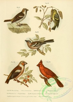 grosbeaks-00001 - House Sparrow, Siskin, fringilla coeleps, Grosbeak or Hawfinch, Cardinal