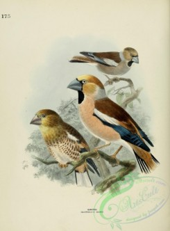 grosbeaks-00005 - HAWFINCH