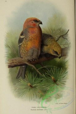 grosbeaks-00036 - PINE-GROSBEAK