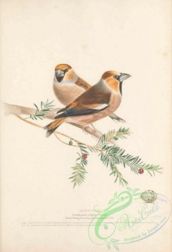 grosbeaks-00064 - Hawfinch, coccothranstes vulgaris