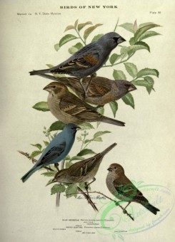 grosbeaks-00073 - Blue Grosbeak, Indigo Bunting