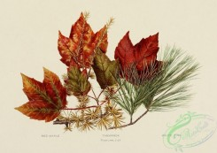 herbarium-00022 - Red Maple, Tamarack, White Pine [2209x1565]