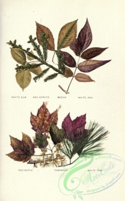 herbarium-00035 - White Elm, Red Spruce, Beech, White Ash, Red Maple, Tamarack, White Pine [2682x4294]