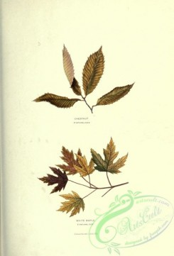 herbarium-00059 - Chestnut, White Maple [2174x3202]