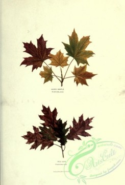 herbarium-00060 - Hard Maple, Red Oak [2174x3202]
