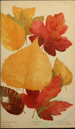 herbarium-00075 - Large White Poplar, Tulip Tree, Norway Maple, Scarlet Maple, Beech, Balm of Gilead, Russian Mulberry [1726x2962]