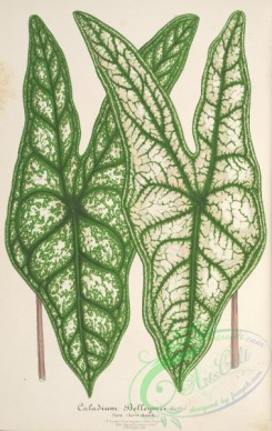 herbarium-00205 - caladium belleymei