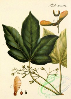 herbarium-00562 - 130-Sycomore Tree, Greater Maple, Sycomore, Greater Maple