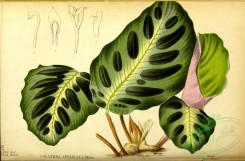herbarium-00567 - calathea applicata