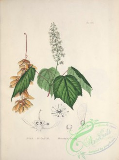 herbarium-00579 - Mountain Maple, acer spicatum