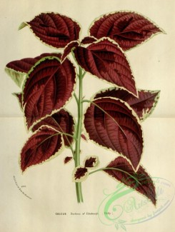 herbarium-00694 - coleus duchess of edinburgh