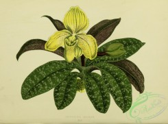 herbarium-00736 - cypripedium concolor