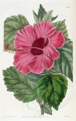 hibiscus-00056 - 1826-hibiscus rosa sinensis, Single-flowered Chinese Rose Mallow [2949x4684]