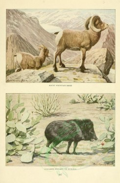 hoofed-00065 - Rocky mountain sheep, Collared Peccary or Muckhog [2419x3677]