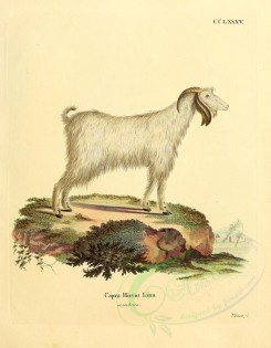hoofed-00311 - Domestic Goat, 3 [2373x3051]