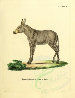 hoofed-00333 - Hybrid between donkey and Zebra [2336x3041]