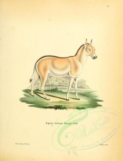 hoofed-00345 - Onager or Asiatic wild ass [2336x3041]