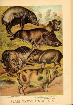 hoofed_best-00038 - Babyroussa, Wart Hog, Wild Boar, Collared Peccary, Domestic Hog [2325x3327]
