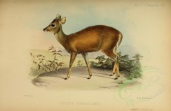 hoofed_best-00060 - Eyebrowed Brocket buck [3358x2186]