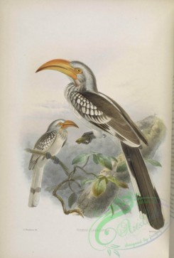 hornbills-00028 - Eastern Yellow-billed Hornbill