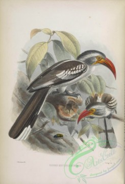 hornbills-00048 - Red-billed Hornbill