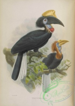 hornbills-00071 - Yellow-casqued Hornbill