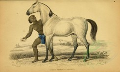 horses-00002 - BORNOU WHITE RACE OF AFRICA [3124x1871]