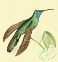 hummingbirds-00975 - Plate 107- Trochilus ensipennis, Blue Sickle-winged Humming Bird [1600x1684]