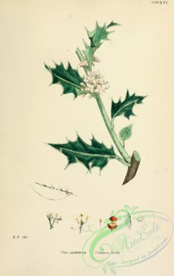 ilex-00002 - Common Holly, ilex aquifolium