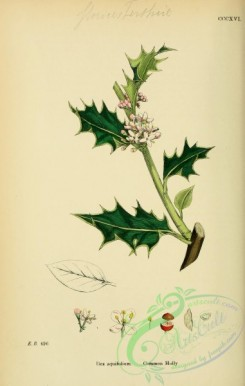 ilex-00009 - Common Holly, ilex aquifolium