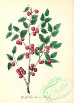 ilex-00018 - South Sea Tea or Holly, ilex vomitoria