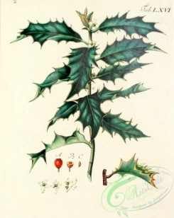 ilex-00045 - 083-Common Holly