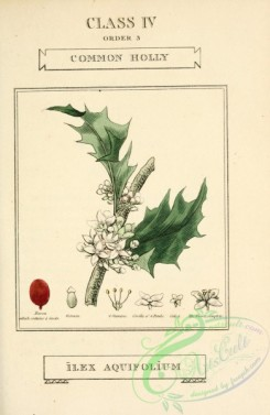 ilex-00055 - Common Holly, ilex aquifolium