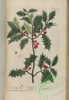 ilex-00057 - Holly-Tree, aquifolium