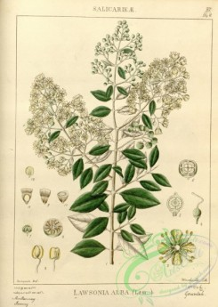 indian_plants-00266 - lawsonia alba