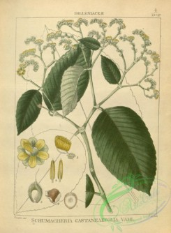 indian_plants-00298 - schumacheria castaneaefolia