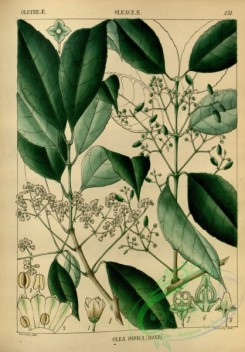 indian_plants-00371 - olea dioica